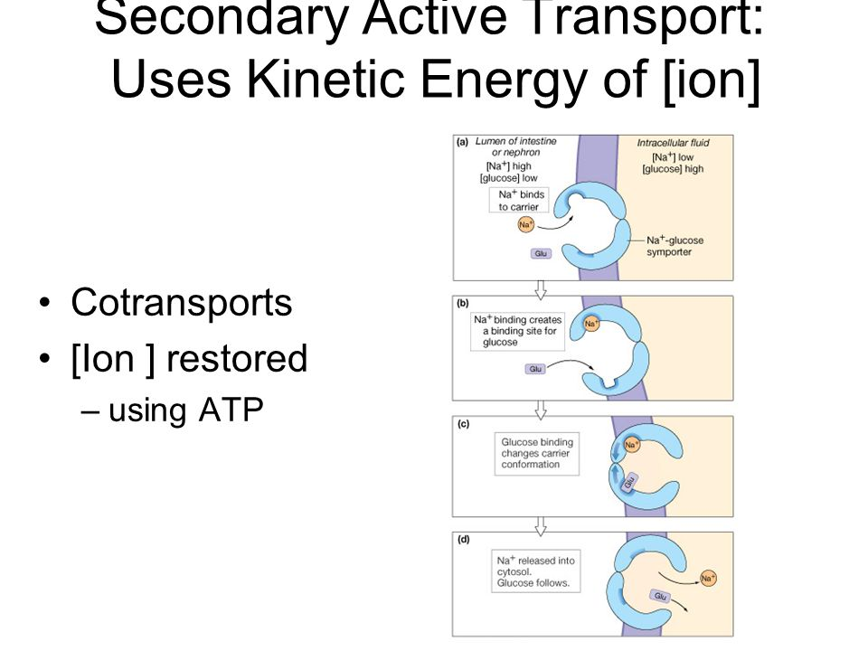 Secondary Active Transport: Uses Kinetic Energy of [ion]